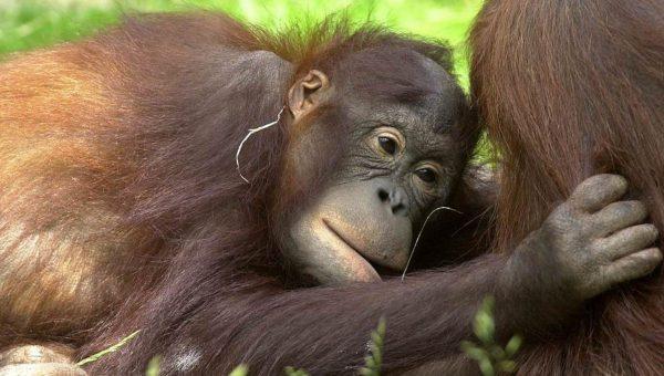 Hellebrekers ontwikkelt voor aap, mens en natuur in Apenheul